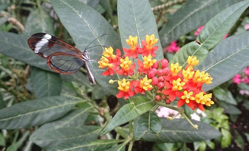 Lu glass wing butterfly