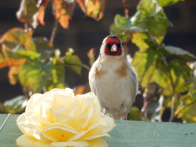 Lu Bruschetta or Bust goldfinch on fence