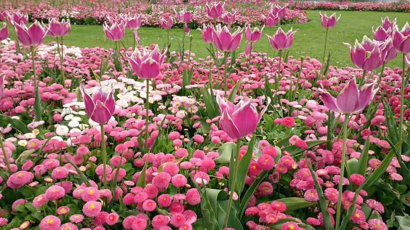 Lu tulips at Kew