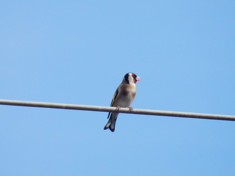 Birdy Love goldfinch 1
