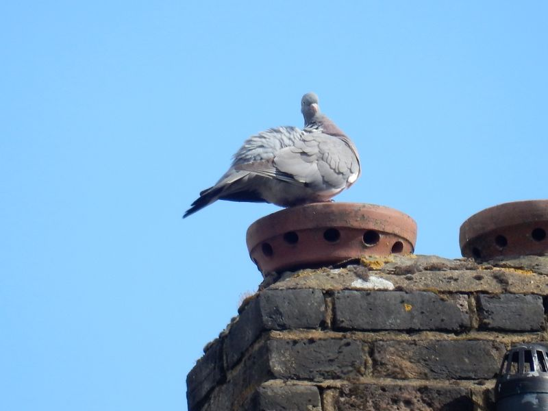 Birdy Love Pigeon on Roof