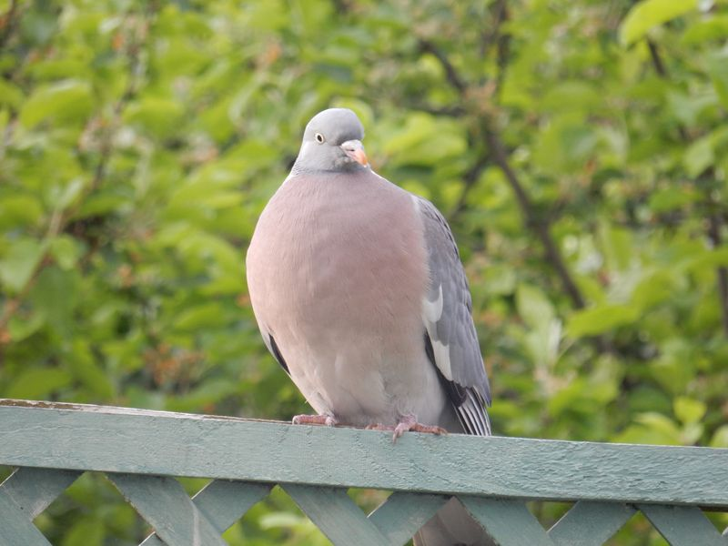 Lu Bruschetta or Bust wood pigeon on fence
