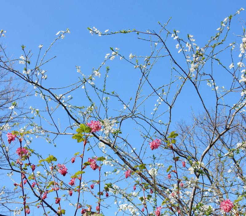 Pottering and playing blue skies and blossom 1