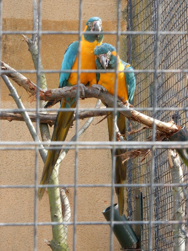Pottering and playing london zoo blue throated macaws