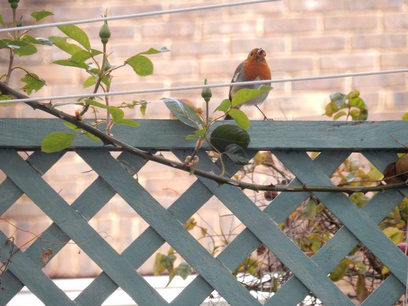 Birdy Love Robin 1