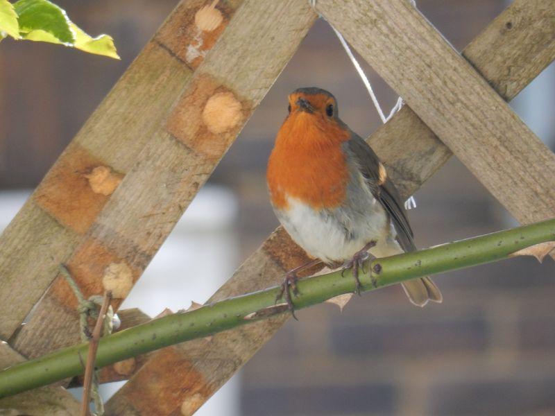 Birdy Love Robin 2